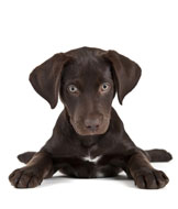 Cute Chocolate Lab Puppy